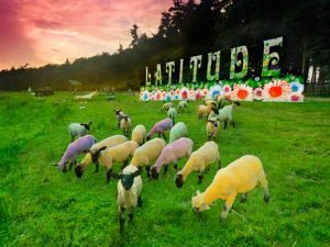 dyed sheep at Latitude Festival